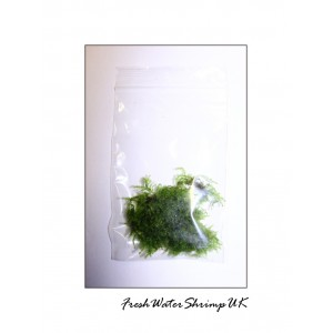Weeping moss portion - Vesicularia ferriei