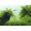 Java moss -   Taxiphyllum  barbieri on wire mesh