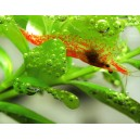 "Red Cherry Shrimp - Neocaridina heterospora var ""red"""