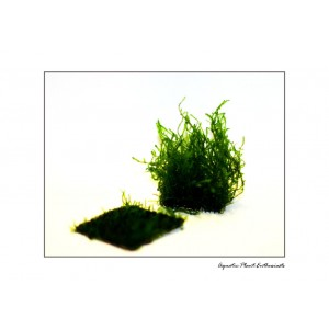 Flame Moss / Taxiphyllum Sp. on wire mesh 3x