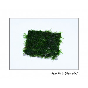 Spiky Moss / Taxiphyllum Sp. on wire mesh