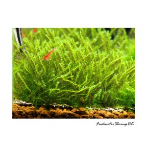 Pearl Moss / Plagmonium Sp. on wire mesh