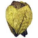 INDIAN ALMOND LEAVES XXL size 25-30cm